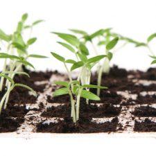 Cannabis Starter Plants